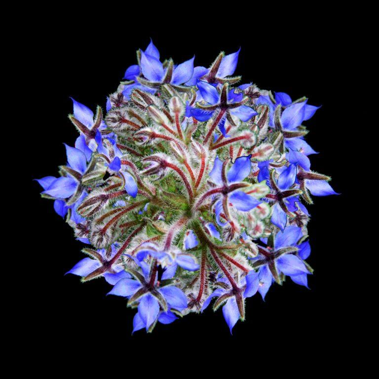 Involucrum Blue Pic